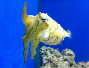 cuttlefish_attack