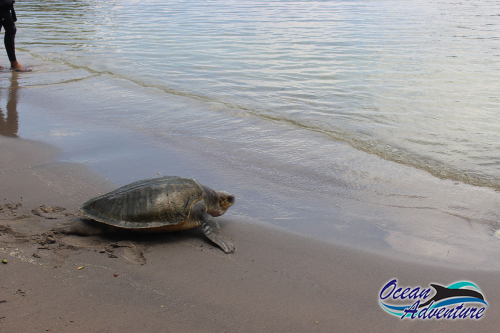 Basia The Sea Turtle's Successful Release