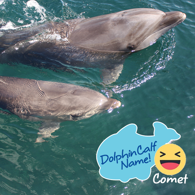 """COMET"" It Is! Help Us Name Our Dolphin Calf Survey"