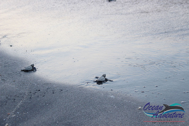 Close To A Hundred Sea Turtle Hatchlings Begin Their Ocean Adventure
