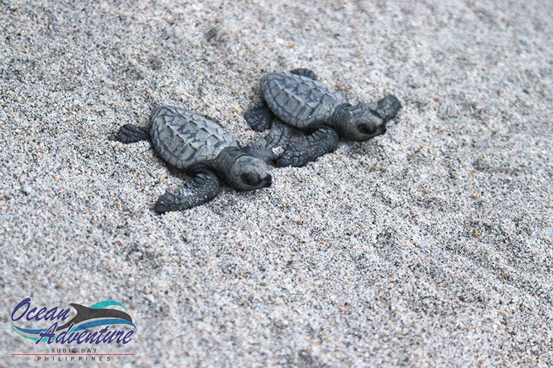 Third Batch Of Olive Ridley Sea Turtle Hatchlings Released At Camayan Beach